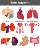 Human anatomy set. Human organs detailed vector. Illustration Stock Images