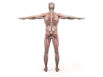 Human anatomy showing back full body, head, shoulders and torso Stock Photos