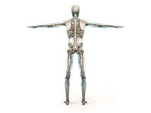 Human anatomy showing back full body, head, shoulders and torso Stock Images