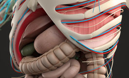 Human anatomy showing close-up of abdomen and digestive system. Royalty Free Stock Image