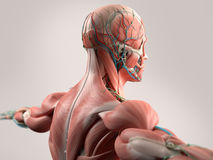 Human anatomy showing face, head, shoulders and back . Royalty Free Stock Image