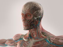 Human anatomy showing face, head, shoulders and chest. Royalty Free Stock Photography