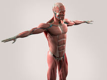 Human anatomy showing face, head, shoulders and torso. Human anatomy showing face, head, shoulders and torso muscular system, bone structure and vascular system Royalty Free Stock Photo