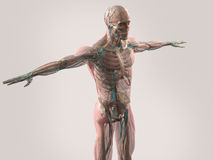 Human anatomy showing face, head, shoulders and torso. Muscular system, bone structure and vascular system Stock Photography