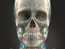 Human anatomy showing head, eyes, nose, face. On light background. Royalty Free Stock Photo