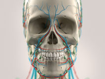 Human anatomy showing head, nose, face. On light background. Royalty Free Stock Photo