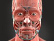 Human anatomy showing head, nose, face. Royalty Free Stock Photos