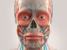 Human anatomy showing head, nose, face. Royalty Free Stock Images