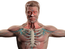 Human anatomy showing head, shoulders and torso. Human anatomy showing head, shoulders and torso, bone structure, muscular system and vascular system on a plain Stock Photos