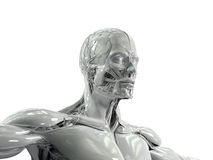Human anatomy showing low three quarter view of face and torso in porcelain finish. Royalty Free Stock Image