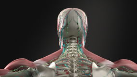 Human anatomy showing rotation of head, neck and shoulders.