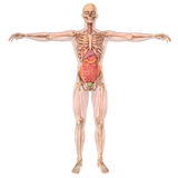 Human anatomy skeleton and organs Royalty Free Stock Photos