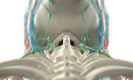 Human anatomy, unique view of spine, vertebrae and skull. Royalty Free Stock Image