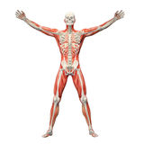 Human anatomy. With visible skeleton and muscles royalty free illustration