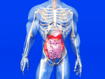 Human Anatomy visualization - Digestive system Royalty Free Stock Photography