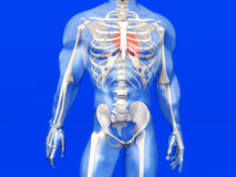 Human Anatomy visualization - the Heart in a semi transparent Bo Royalty Free Stock Photography
