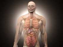 Human Anatomy visualization - Internal Organs Royalty Free Stock Photo