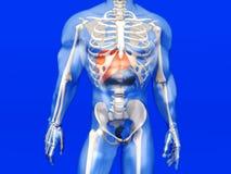 Human Anatomy visualization - the Liver in a semi transparent Bo Stock Photo