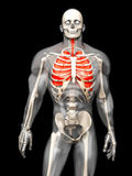 Human Anatomy visualization - the Lungs in a semi transparent Bo Royalty Free Stock Images
