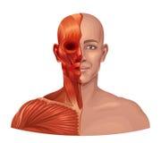 Human anatomy Royalty Free Stock Photos