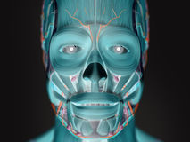 Human anatomy xray-like view of face. Royalty Free Stock Photography