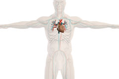 Human anatomy xray view of circulatory system, plain white background. Royalty Free Stock Image