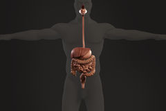 Human anatomy xray view of digestive system, on dark background. Royalty Free Stock Photos