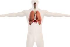 Human anatomy xray view of respiratory system, on plain white background. Human anatomy xray view of respiratory system, showing lungs and outline of body on Royalty Free Stock Photos