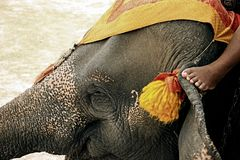 Human and animal relationship. Mahout and elephants thailand stock images