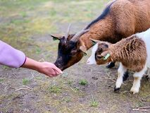 Human/Animals connection, goats, pets, animals