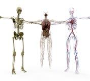 Human anotomy in bones, organs and vasculair royalty free stock photos