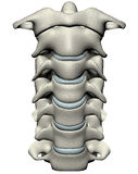 Human anterior cervical spine (neck). Human cervical spine (neck) anterior anatomical 3D illustration on white background Royalty Free Stock Photos