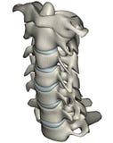 Human anterior oblique cervical spine (neck). Human cervical spine (neck) anterior oblique anatomical 3D illustration on white background royalty free illustration