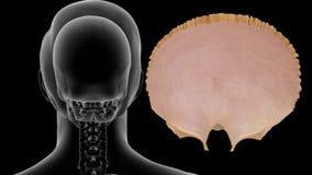 Human Skeleton Skull Bone - Frontal
