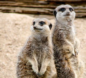 Human attitude. Meerkats in the London Zoo Royalty Free Stock Photography
