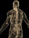 Human back Royalty Free Stock Image