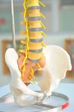 Human back bone model. Anatomy of human back bone model royalty free stock photos