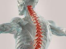 Human back pain. 3D anatomy illustration of chronic back pain stock images