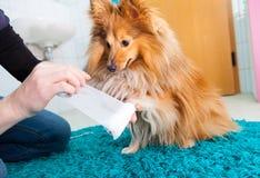 Human bandage a shetland sheepdog Stock Images