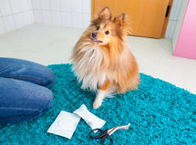 Human bandage a shetland sheepdog Stock Photography