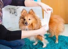 Human bandage a shetland sheepdog Royalty Free Stock Photos