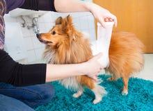 Human bandage a shetland sheepdog Royalty Free Stock Photography