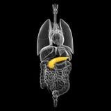 Human biliary anatomy in blue x-ray Stock Image