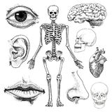 Human biology, anatomy illustration. engraved hand drawn in old sketch and vintage style. skull or skeleton silhouette. Bones of the body. lips and ear with Royalty Free Stock Photography