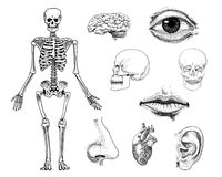 Human biology, anatomy illustration. engraved hand drawn in old sketch and vintage style. skull or skeleton silhouette Royalty Free Stock Image