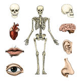 Human biology, anatomy illustration. engraved hand drawn in old sketch and vintage style. skull or skeleton silhouette. Bones of the body. lips and ear with Royalty Free Stock Photo