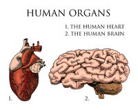 Human biology, organs anatomy illustration. engraved hand drawn in old sketch and vintage style. body detailed brain or Stock Images