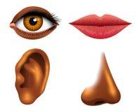 Human biology, sensory organs, anatomy illustration. face detailed kiss or lips, nose and ear, eye or view. set medical. Human biology, sensory organs, anatomy stock illustration