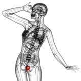 Human bladder Stock Image