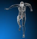 Human bladder Royalty Free Stock Images